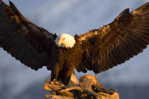 Lorem Eagle